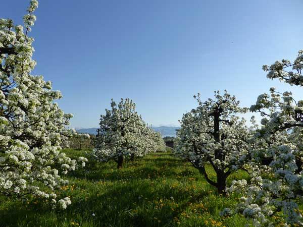 Bodensee Apfel Hopfen